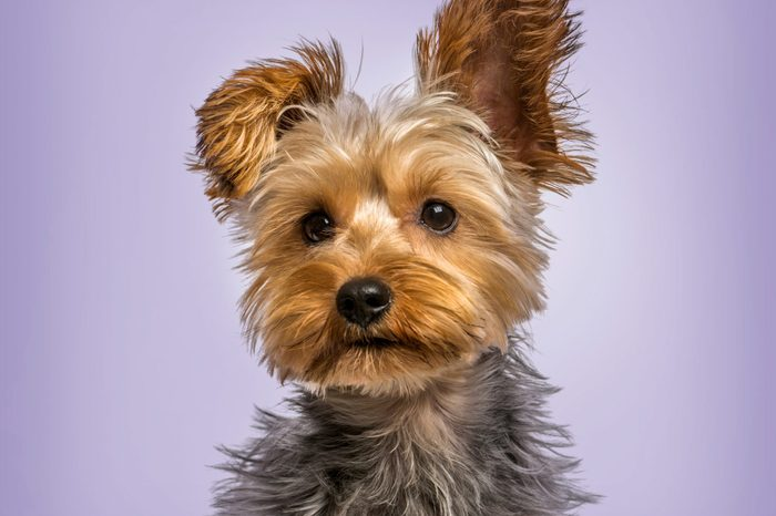 Yorkshire terrier in strong wind against purple background