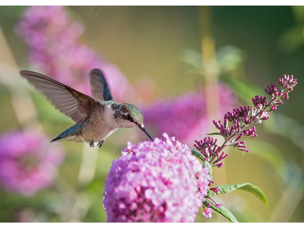 garden photography butterfly bush buffet