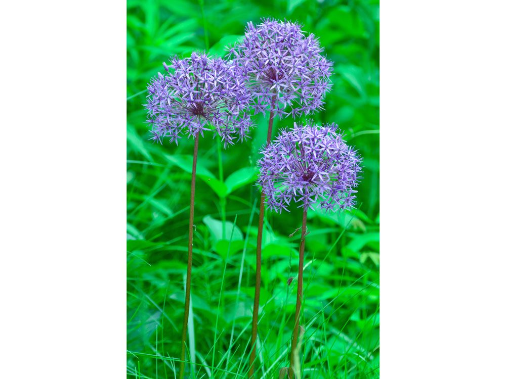 garden photography alliums