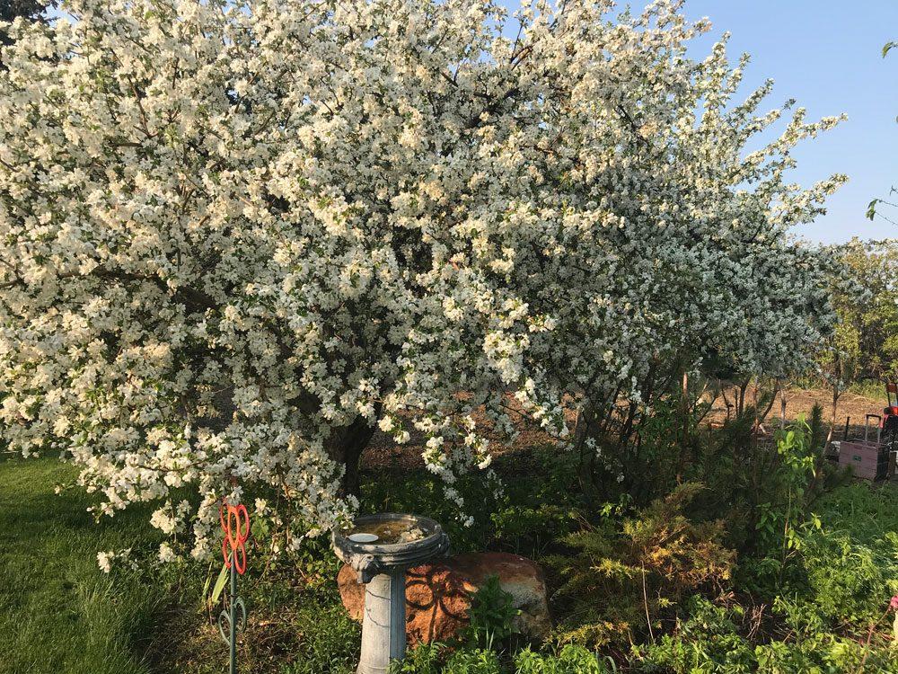 garden photography apple tree blossom