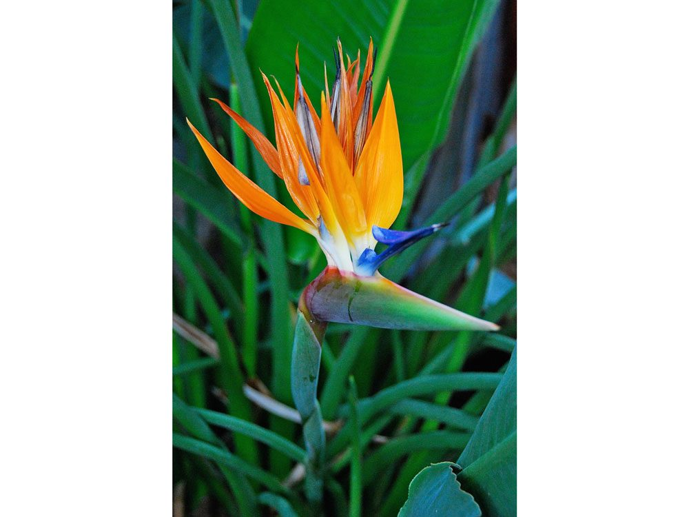 garden photography bird of paradise