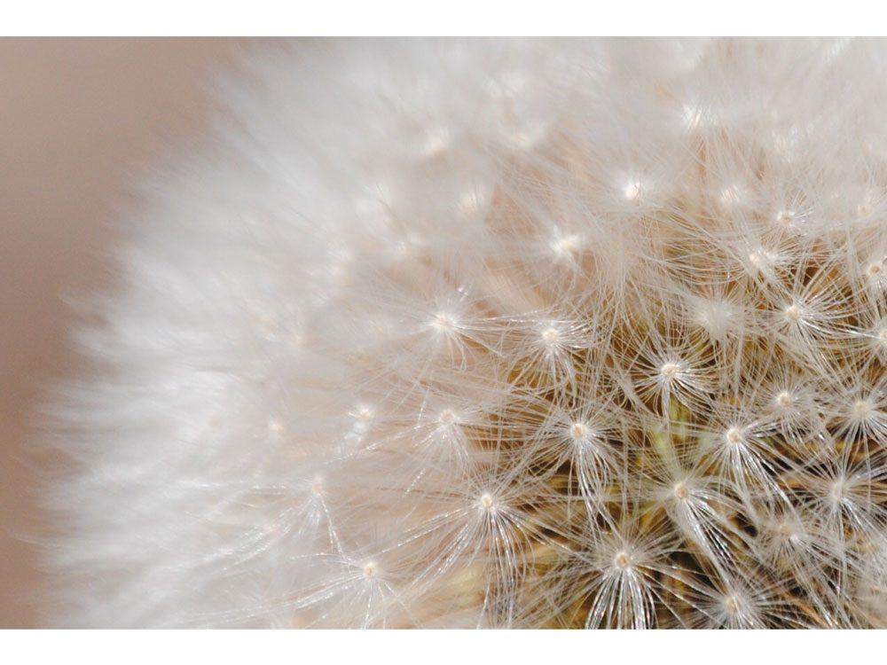 garden photography dandelion