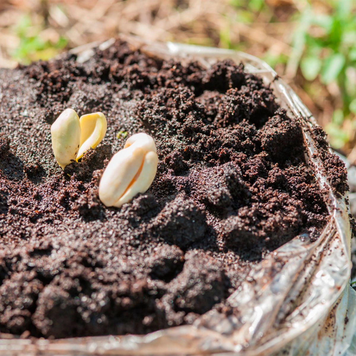 seedlings in coffee grounds