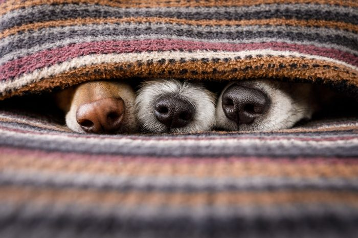 couple of dogs in love sleeping together under the blanket in bed , warm and cozy and cuddly