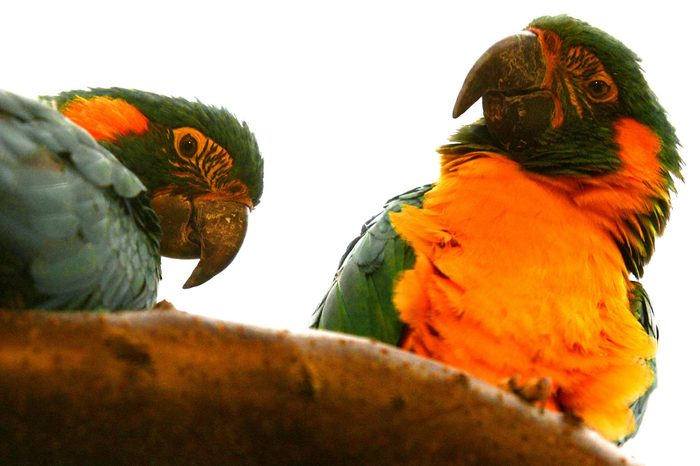 blue throated macaws