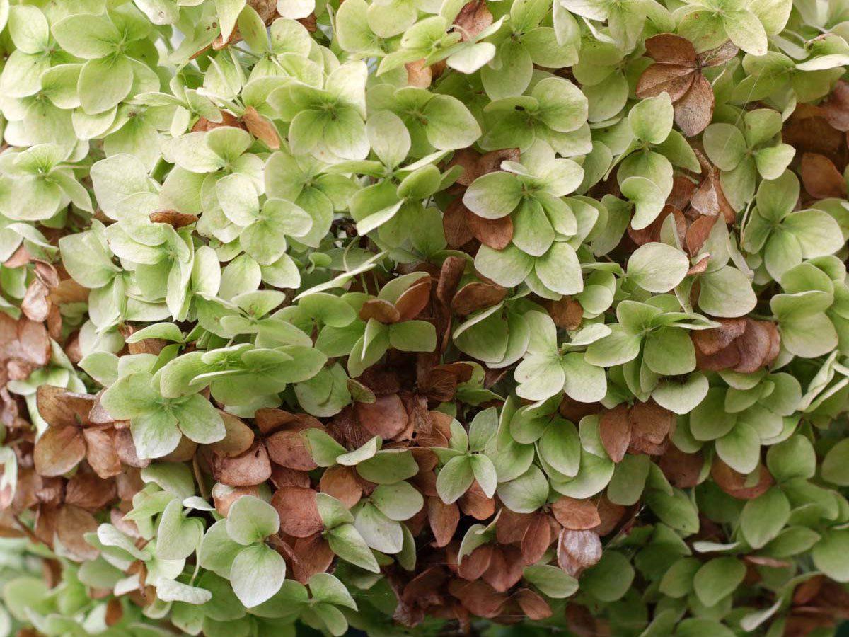 Garden shrub