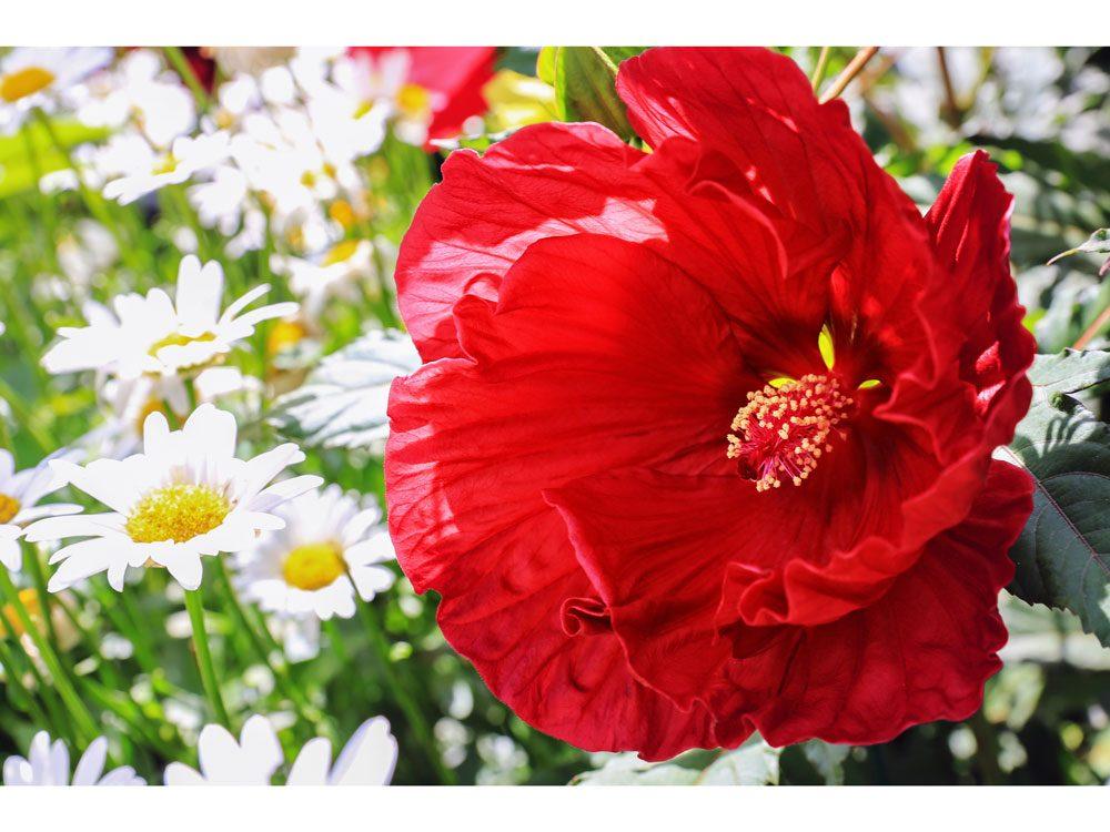 garden photography red hibiscus