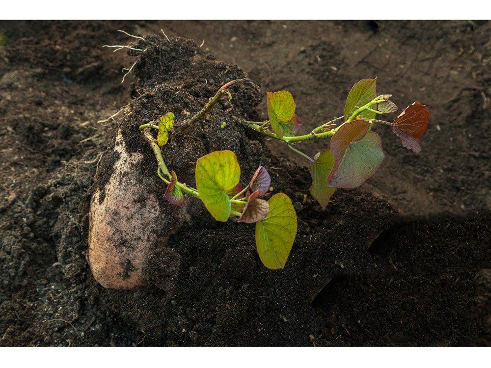 garden photography rooting potato
