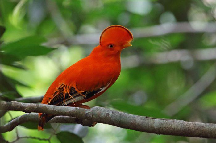 guianan cock of the rock