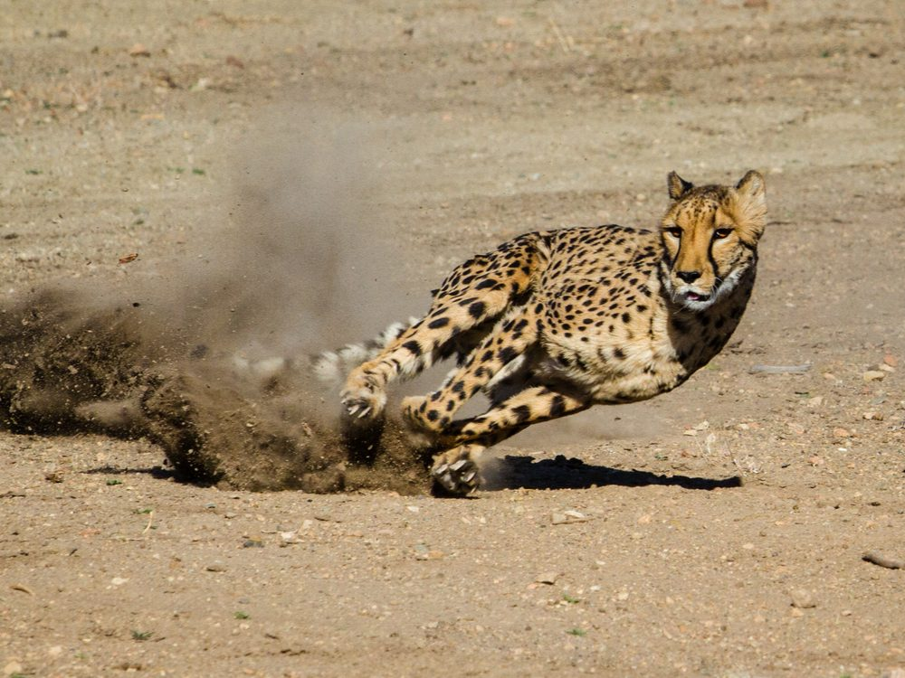 speed cheetah