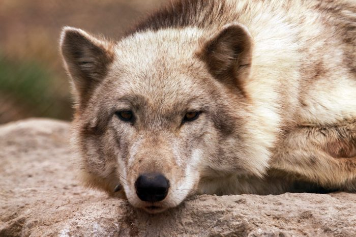 A timber wolf (canis lupus).