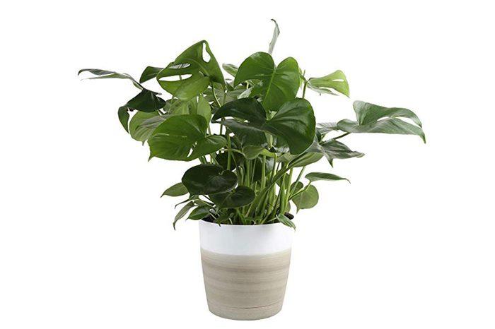 10_Monstera-plant