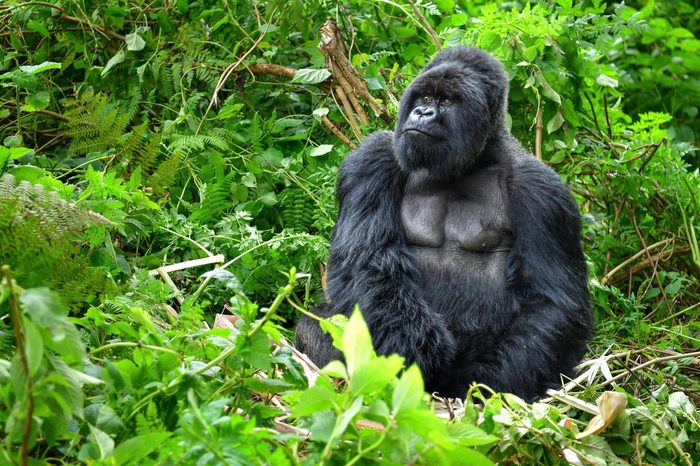 A silverback mountain gorilla in a rainforest in Rwanda