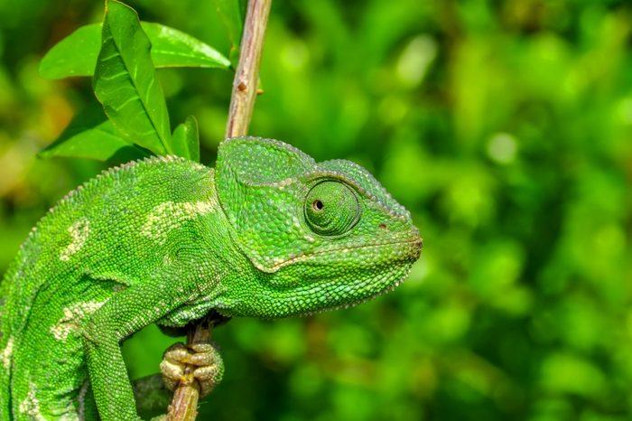 Beautiful green chameleon - Stock Image