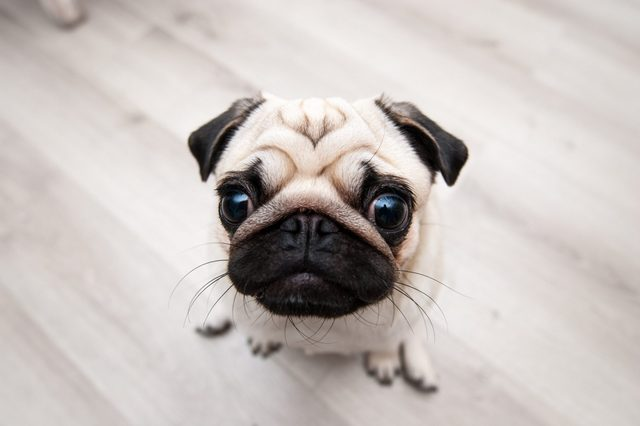 Funny dog of the pug breed. Photographed with fisheye lens