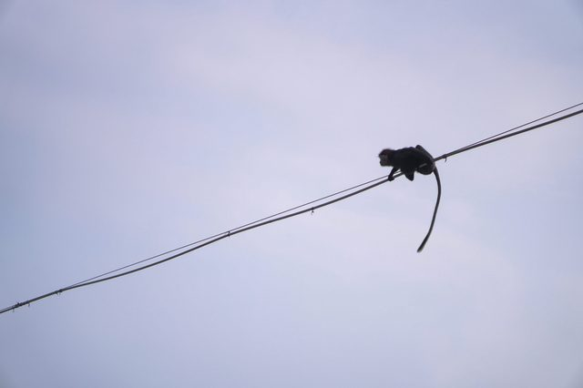 Funny wild monkey in the nature of Asia. Animal on the wires above the water. Types of Sri Lanka. Tourist routes of tropical fauna. Stock photo