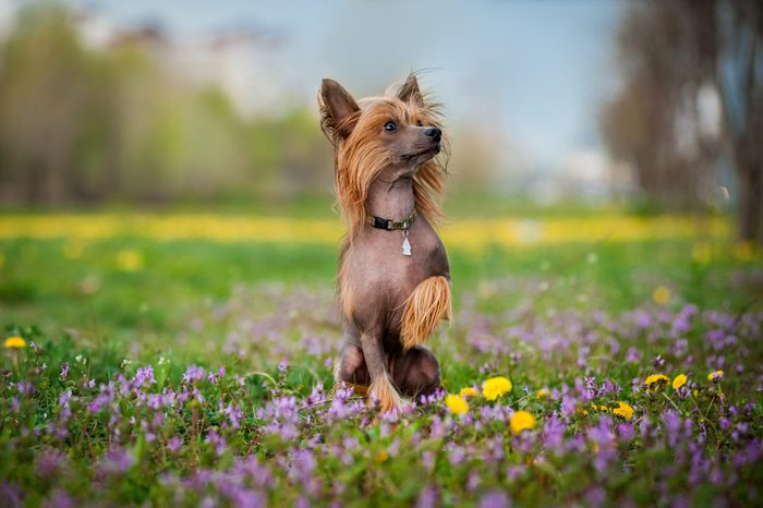 Chinese crested dog on the blooming field