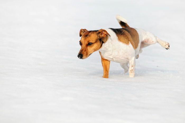 Jack Russel Terrier Dog pees in snow