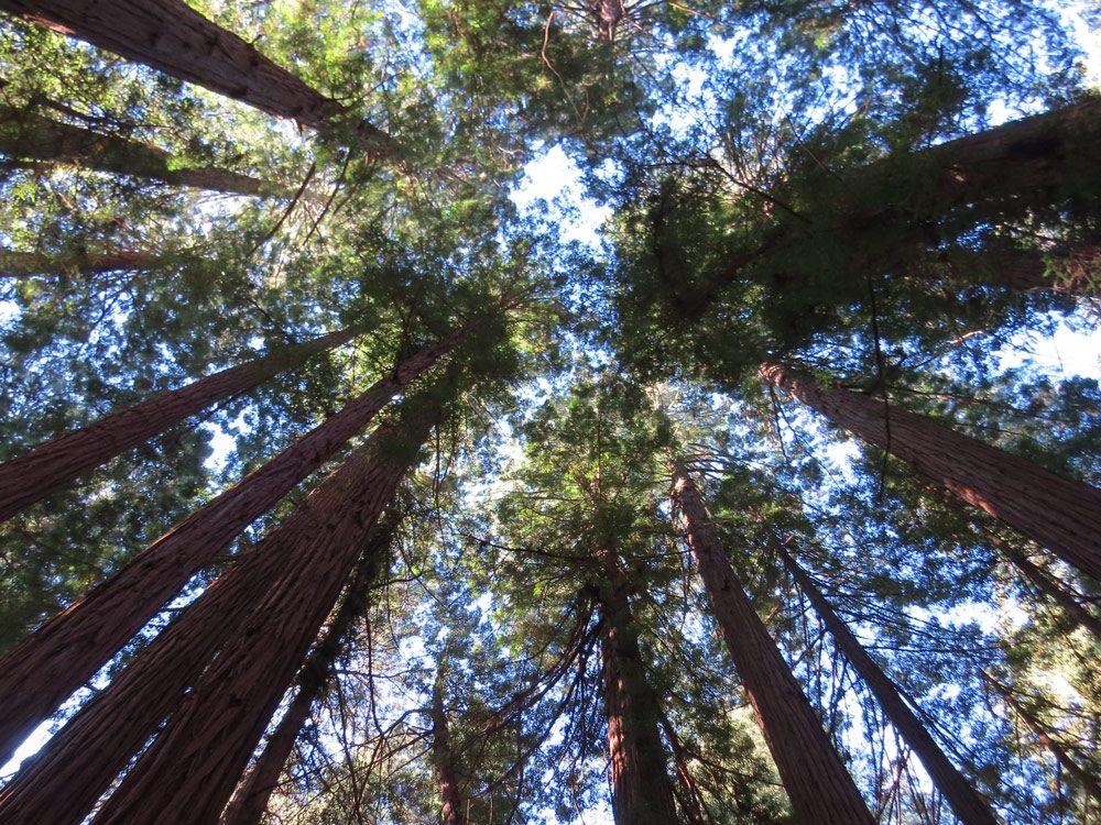 Californian trees