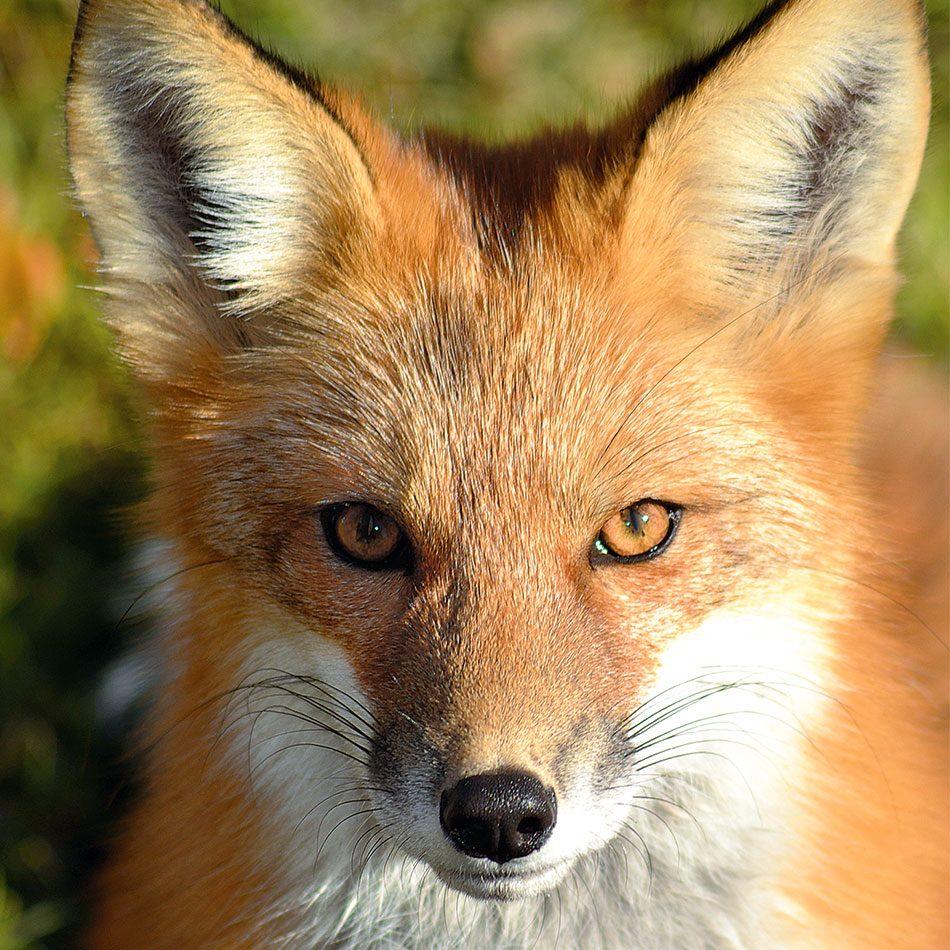 Fox at Jan Lake, Saskatchewan