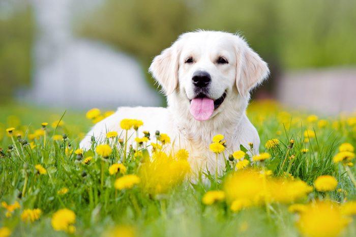 golden retriever dog outdoors in summer