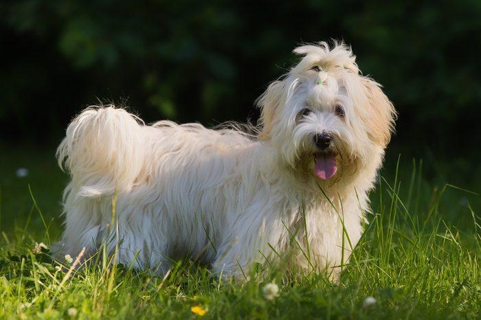 havanese dog on meadow