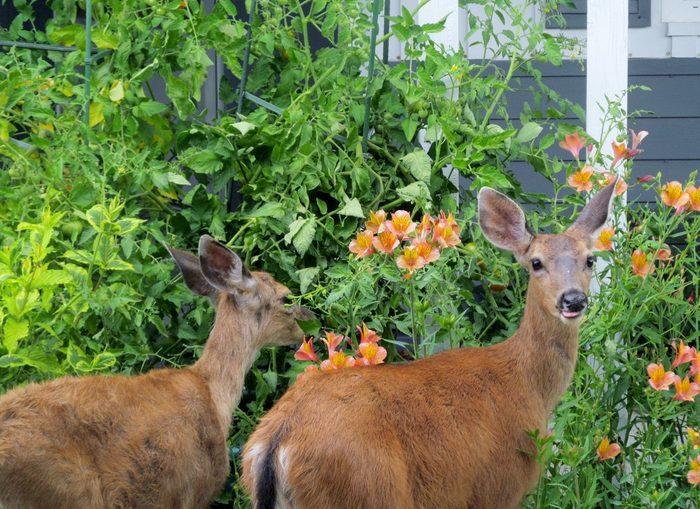 Deer visit a garden.