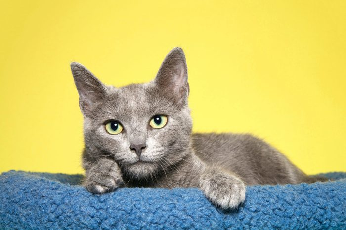Adorable grey kitten with yellow green eyes laying in a blue bed, paws over side looking longingly at viewer. Mustard yellow background.