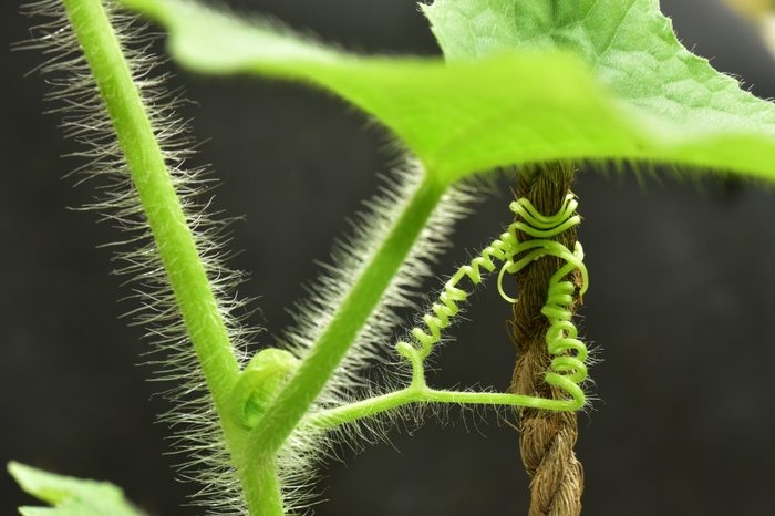 Hairy stem and tendrils of a cucumber plant against dark background.
