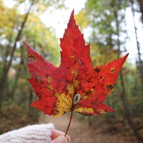 Canadian red maple leaf