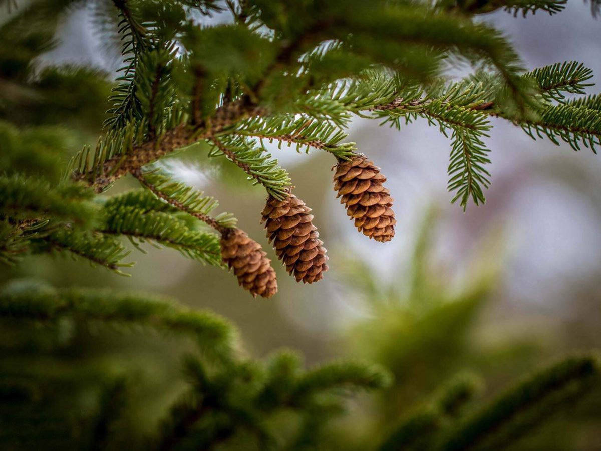 Pine cones hanging from evergreen tree