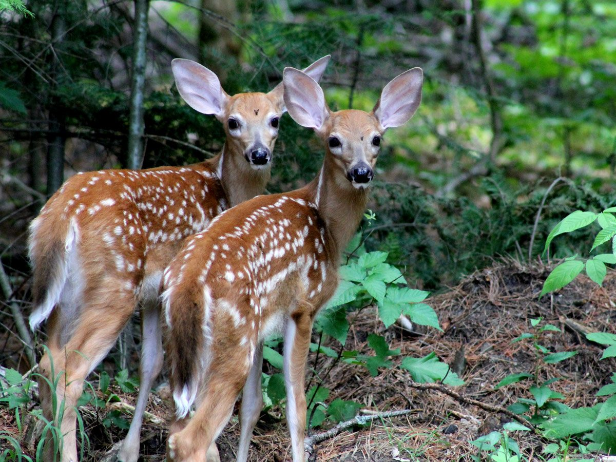 A pair of baby deer in Bon Echo Provincial Park