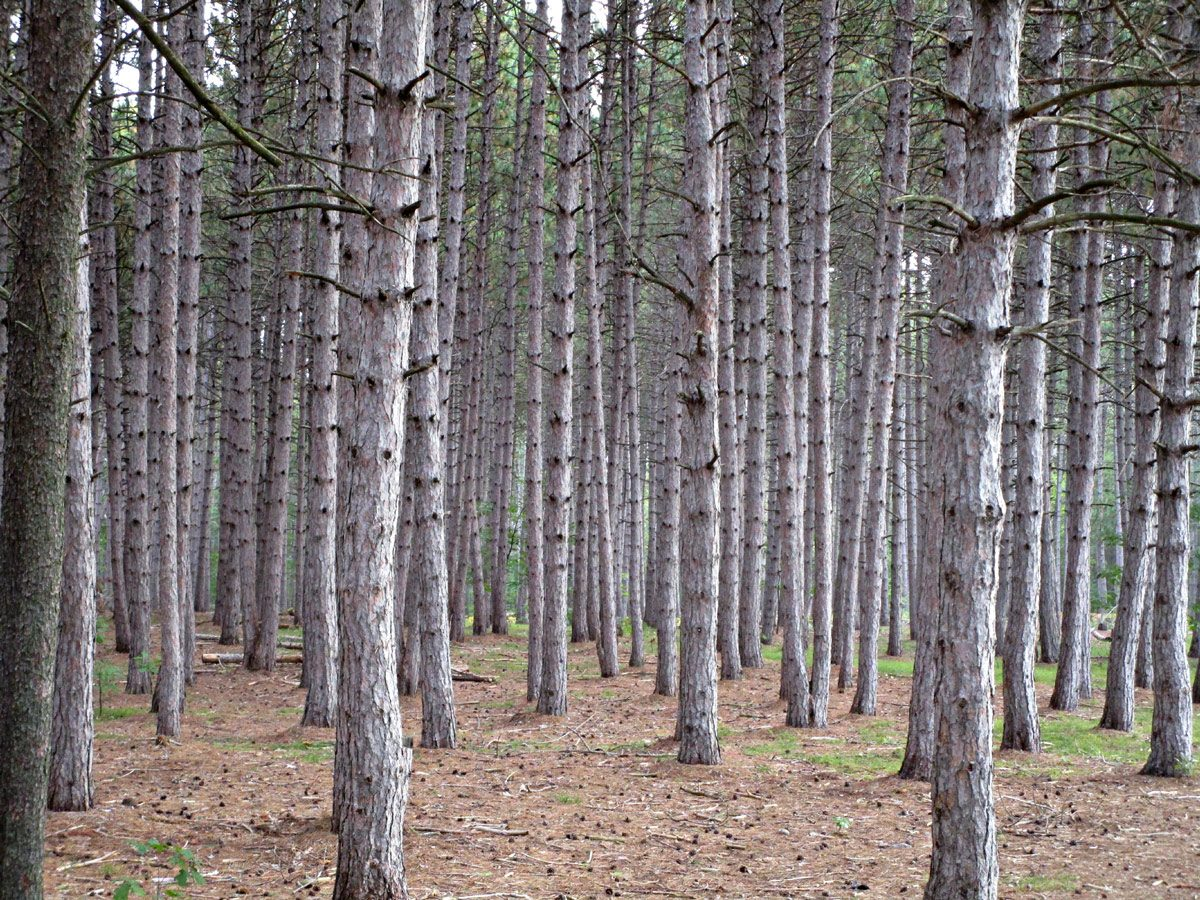 Red pine woods of Petawawa, ON
