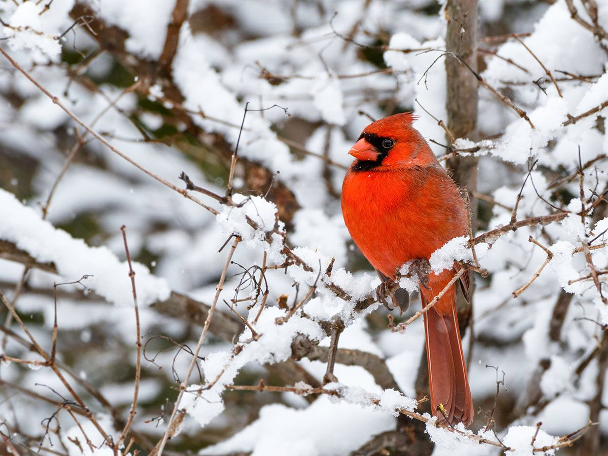 Cardinal in winter snow