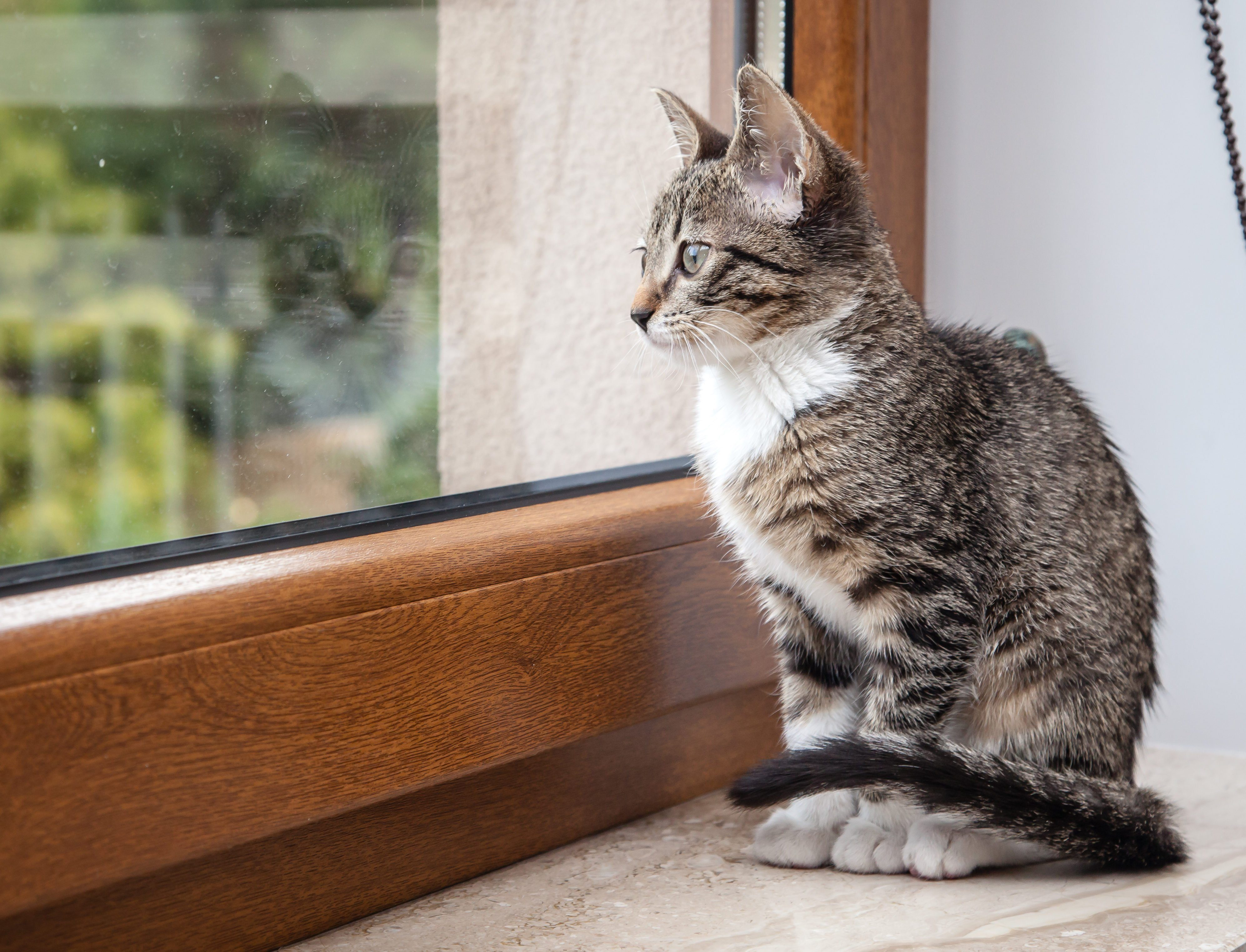 Small grey pet kitten starring out apartment window