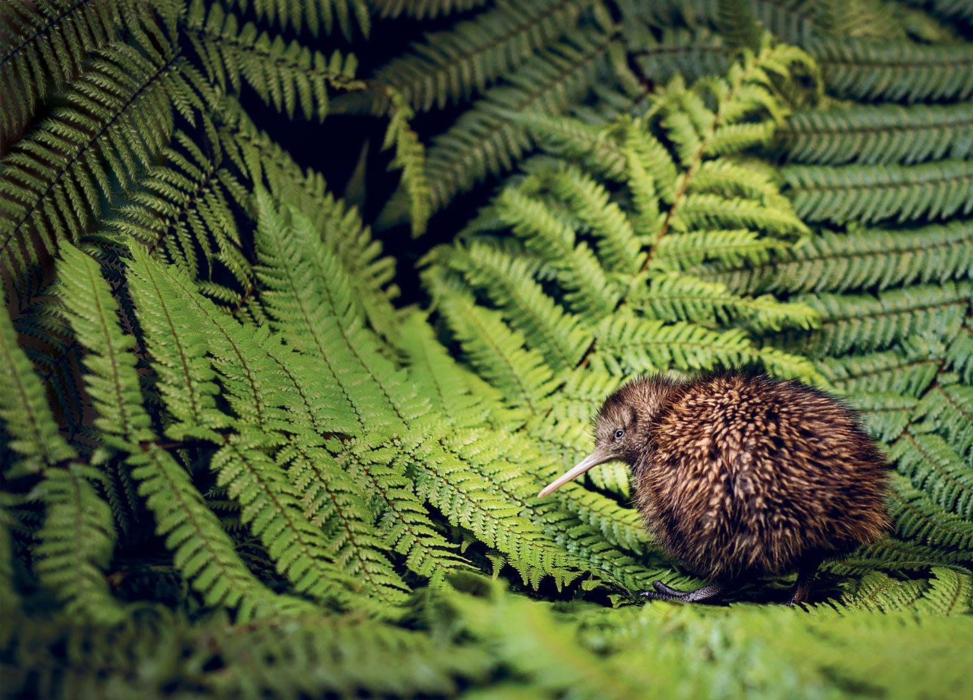 Kiwi bird in trees
