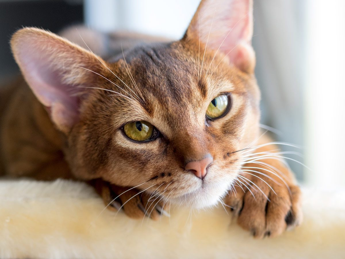 Most affectionate cats - Abyssinian