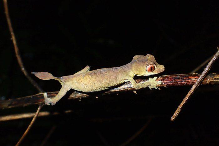 leaf tailed gecko