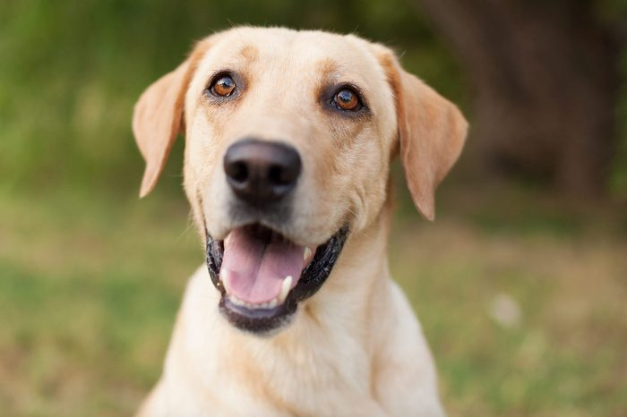 Yellow Lab Smiling in Natural Outdoor Setting