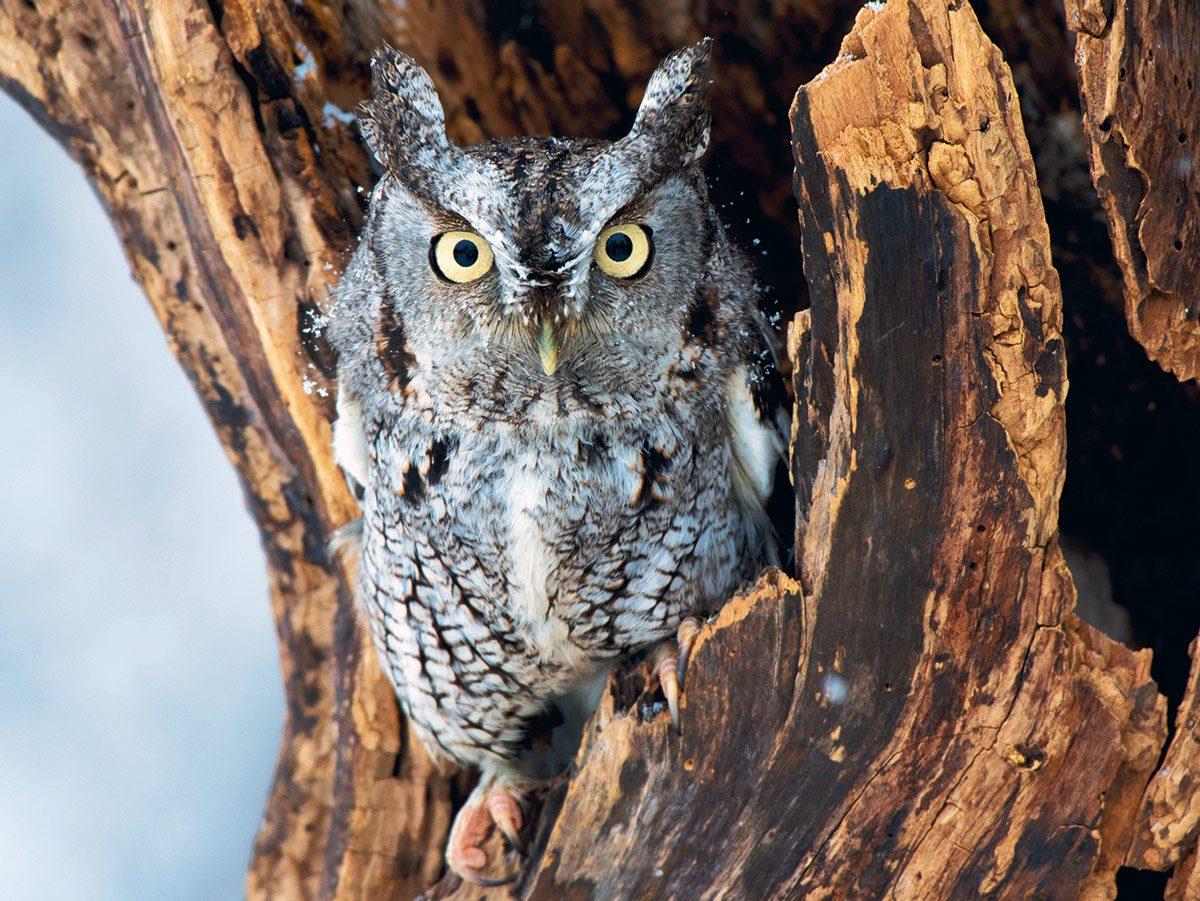 Screech owl at the Mountsberg Raptor Centre