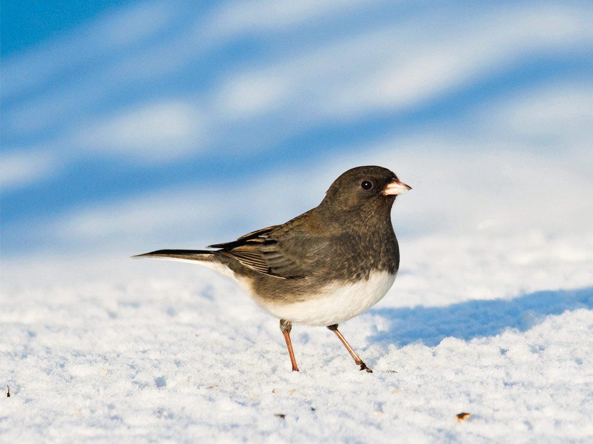 Junco bird