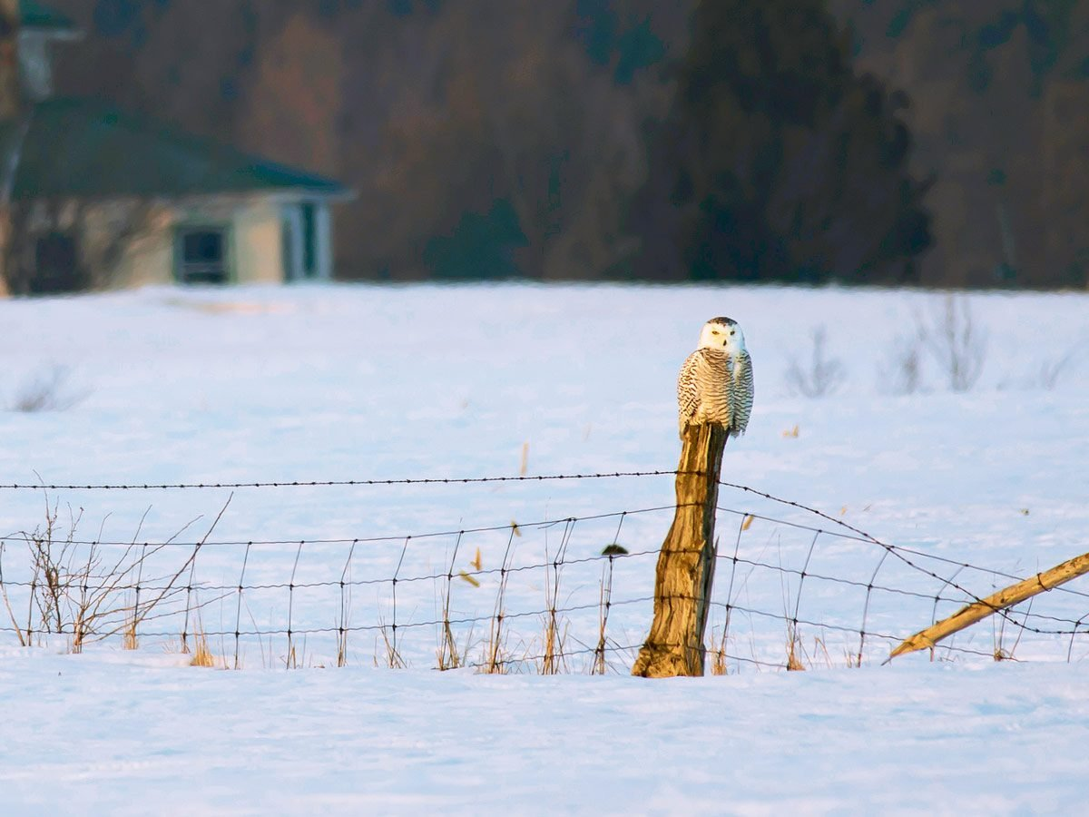 A local snowy owl perched on a fence