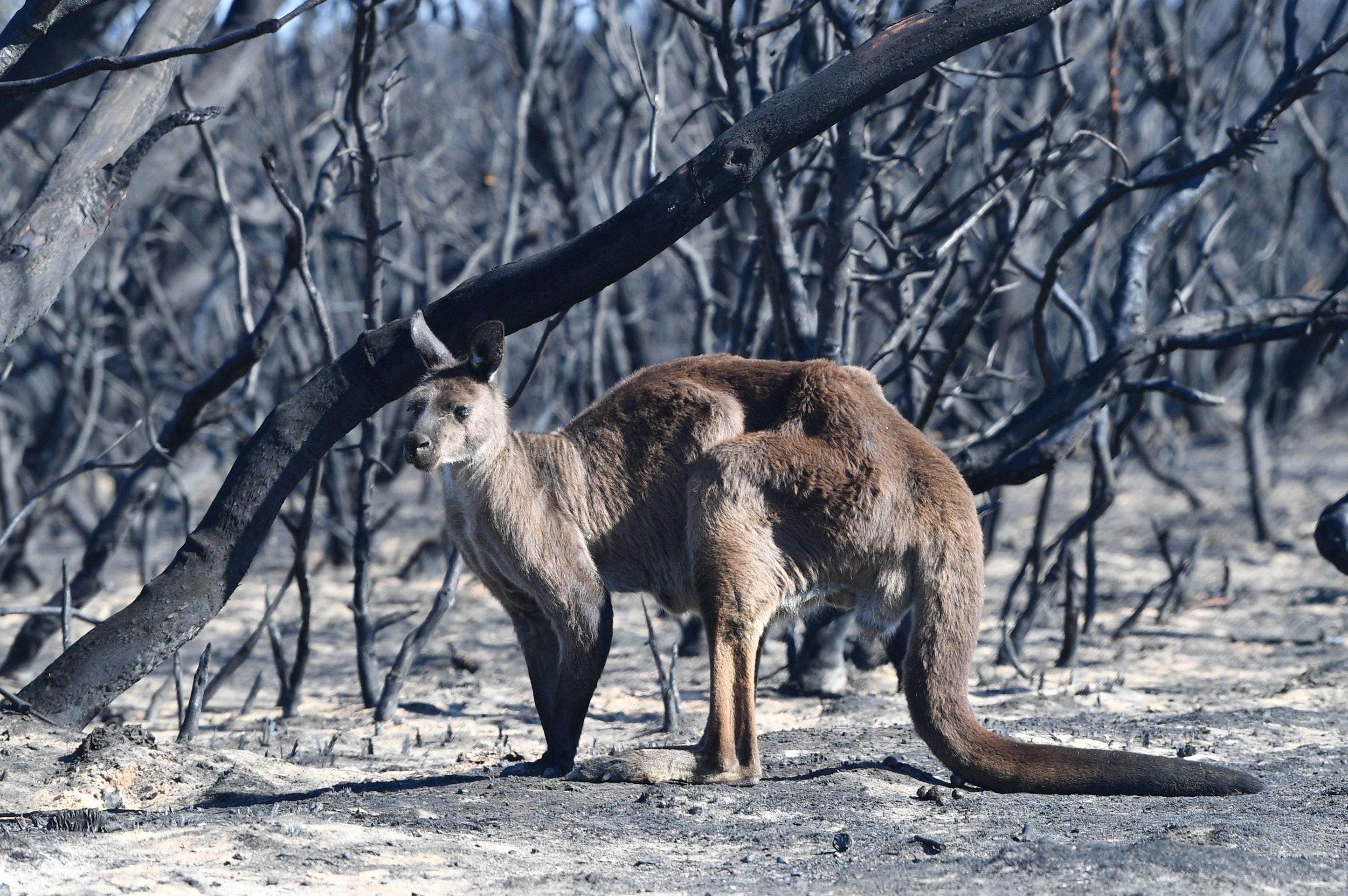 A kangaroo is seen at the Flinder Chase National Park during bushfires on Kangaroo Island, Australia, 07 January 2020.