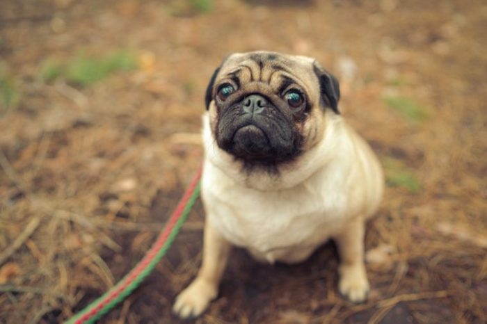 Cute pug dog sitting on ground