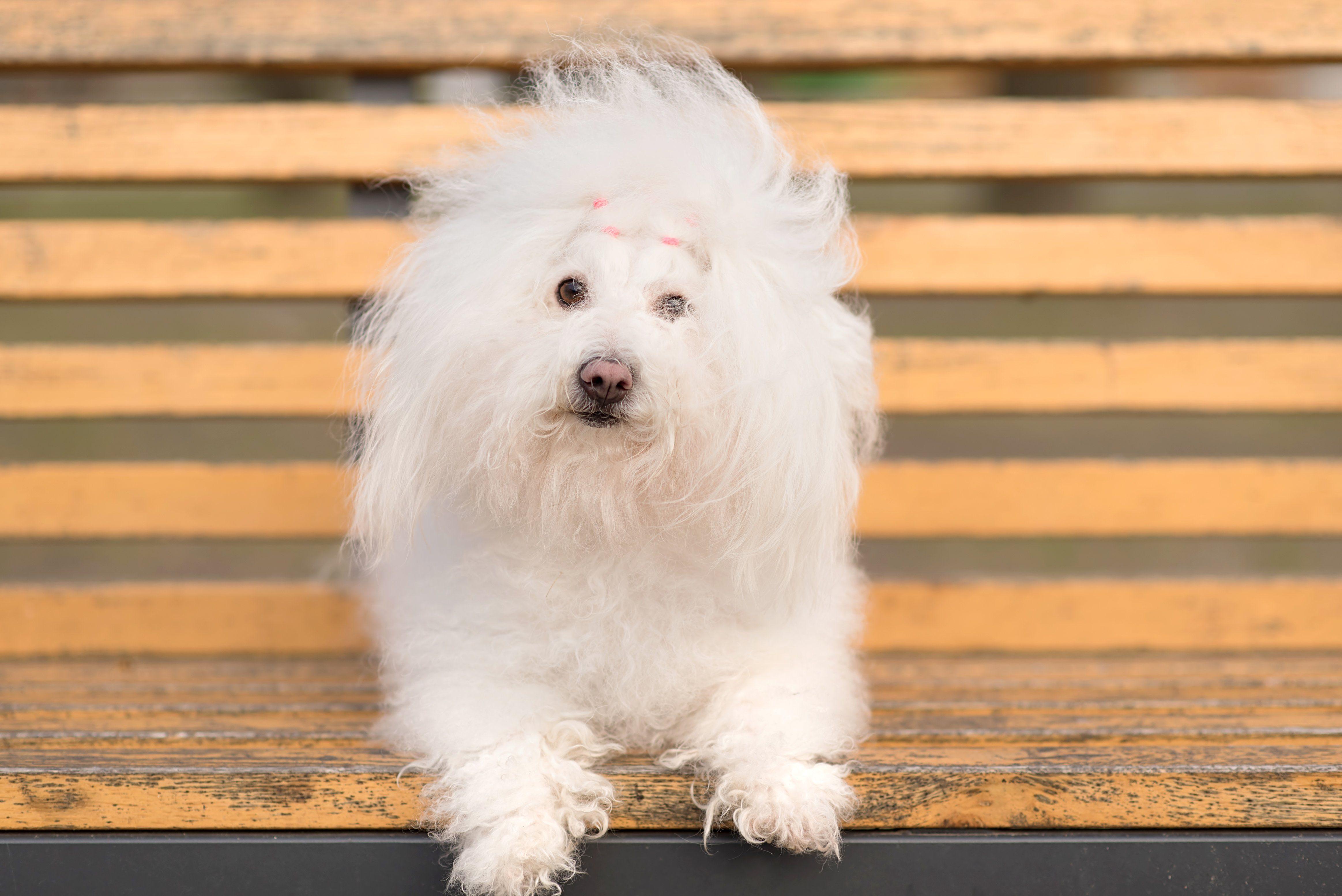 bolognese dog