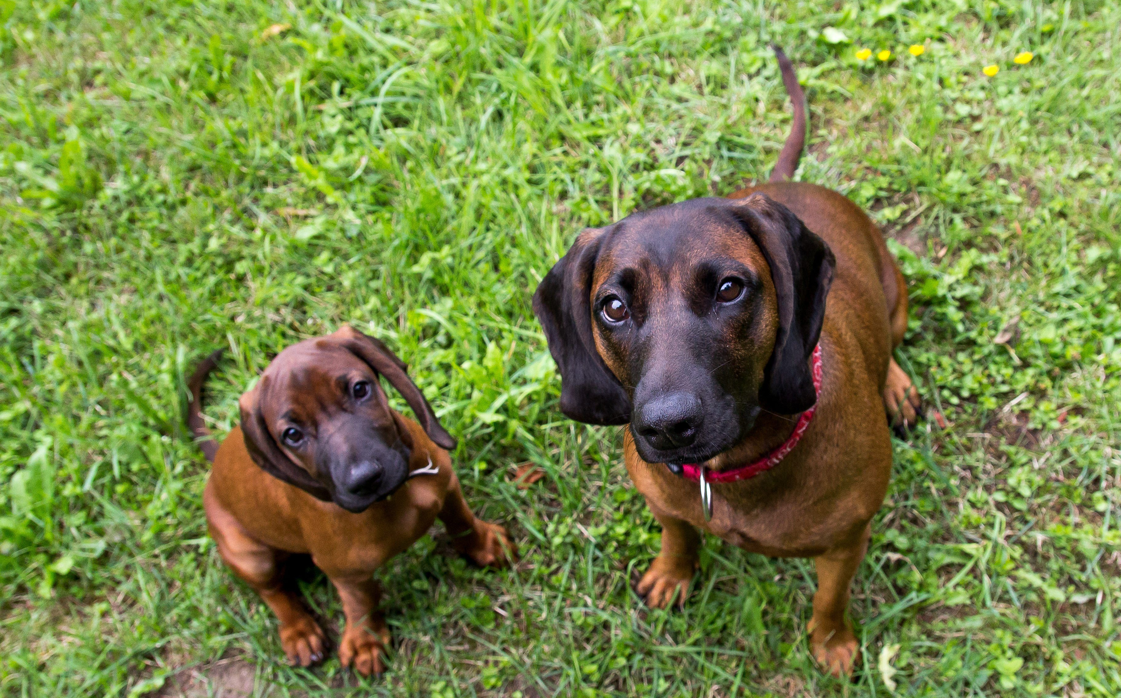 Bavarian scent hound