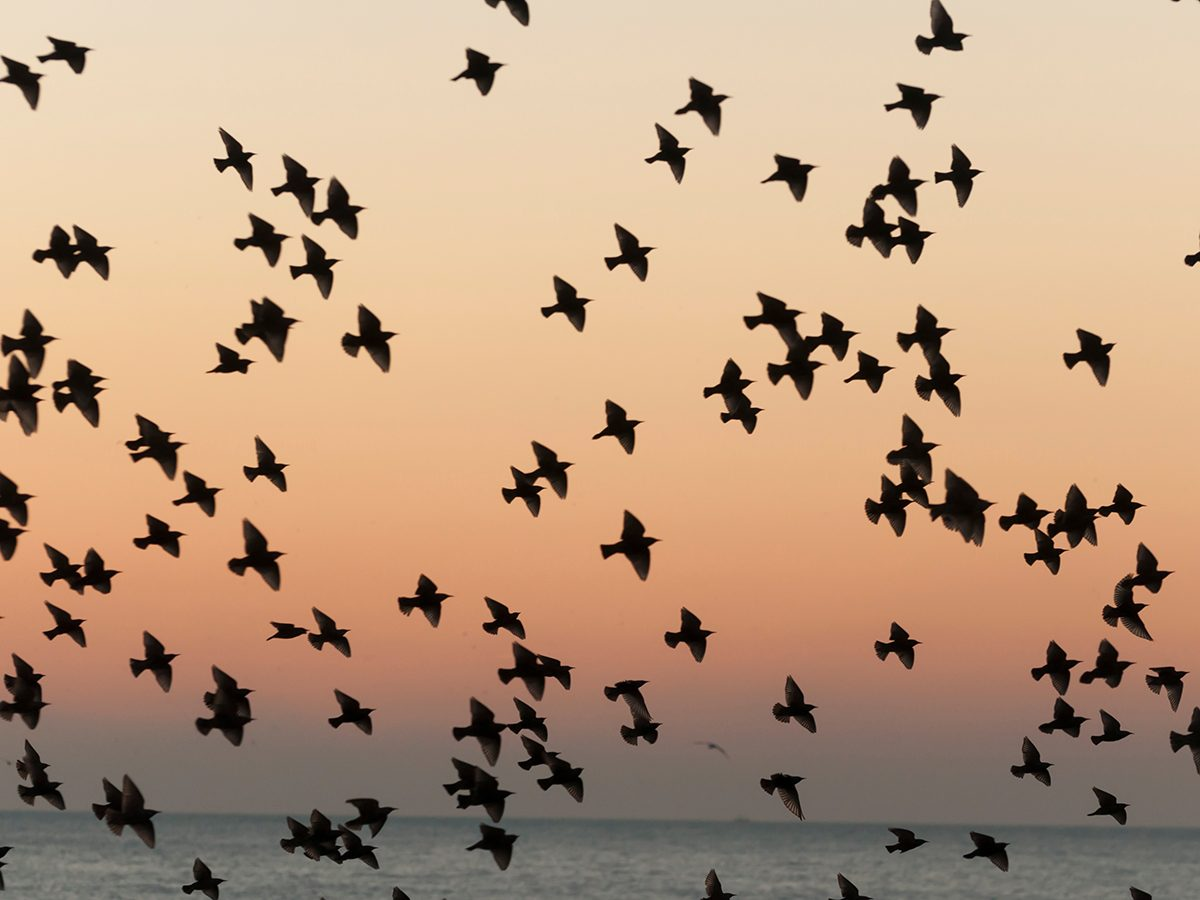 Aviation terms - flock of birds at sunset