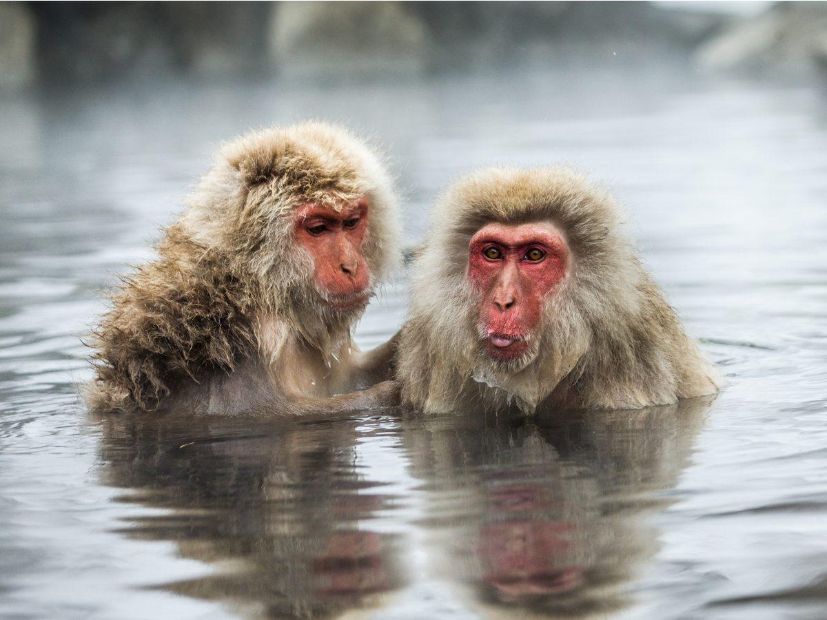 Japanese snow monkeys in Nagano Prefecture, Japan