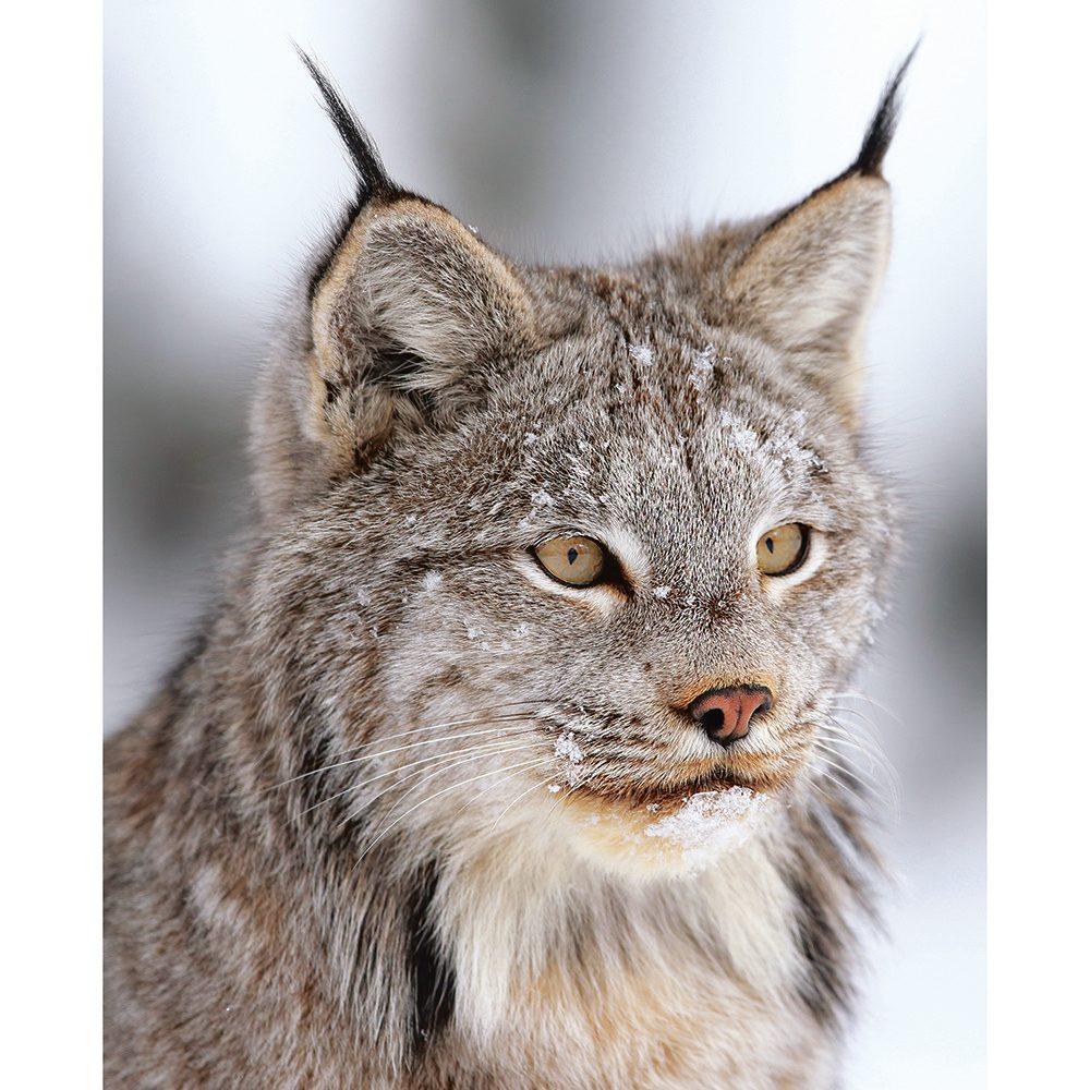 Canada lynx close up