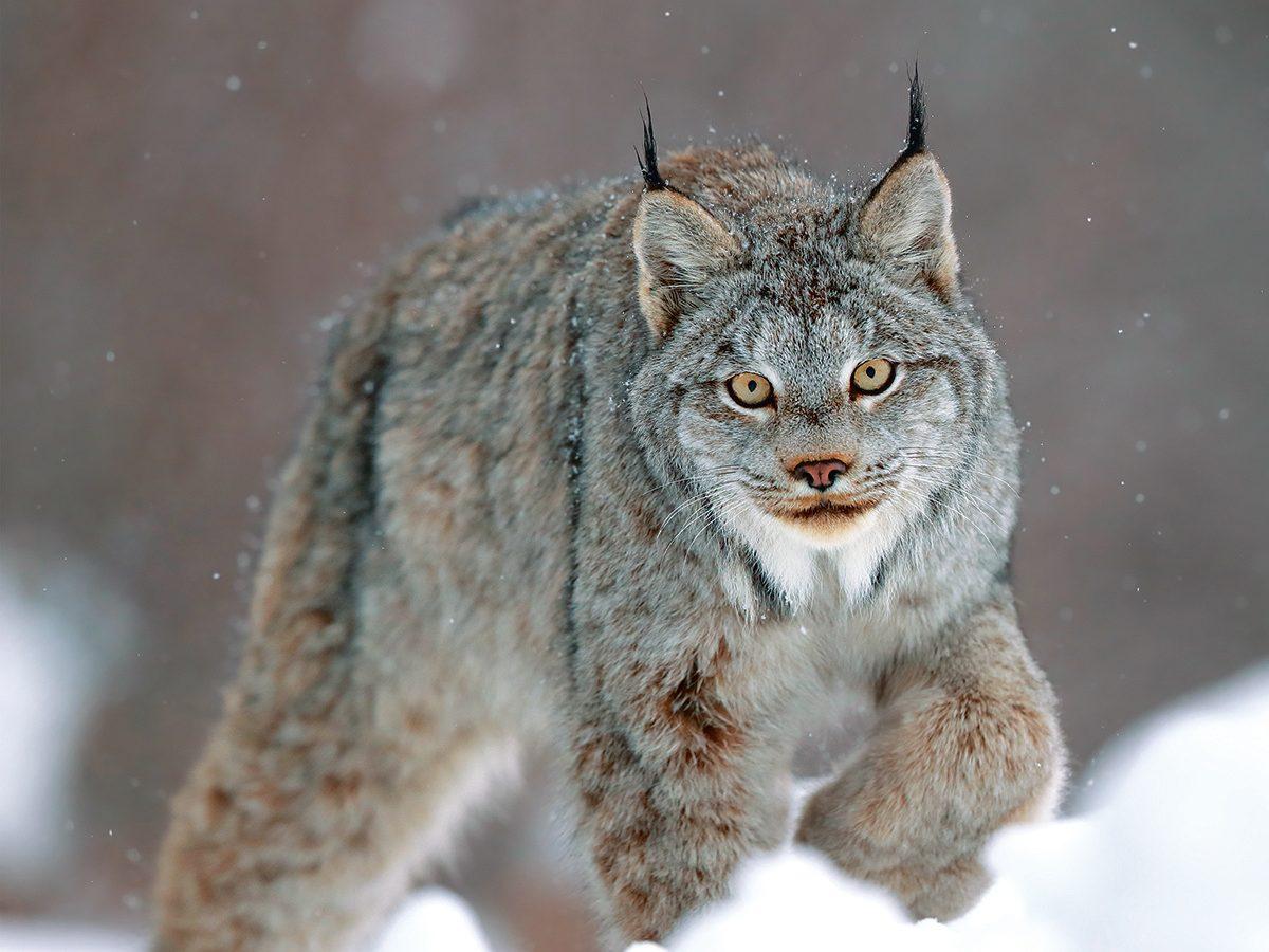 Canada lynx pouncing in winter